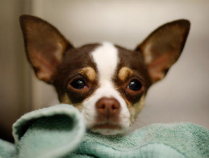 chihuahua_david-mcnewgetty-images